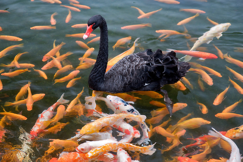 Black Swan and Koi fish. Hyatt hotel. Kauai, Hawaii