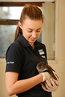 BNPS.co.uk (01202 558833)<br /> Pic: ZacharyCulpin/BNPS<br /> <br /> Emily Waller keeps a close on the young penguins.  <br /> <br /> The world's smallest breed of penguin has arrived in Europe after six tiny chicks hatched on the south coast of England.<br /> <br /> The group of adorable Fairy Penguins have been born at Weymouth Sea Life Adventure Park in Dorset as part of a new breeding programme.<br /> <br /> They will eventually grow to around 13ins tall but now, aged just weeks old, they are the roughly the same size as a large gerbil. <br /> <br /> The pocket-sized creatures were born from a colony of Fairy Penguins from their sanctuary in Australia in 2018.