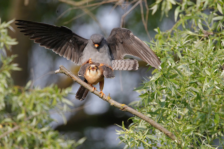 Red Footed Falcon (Falco vespertinus) in the Danube Delta, Romania. May 2009 <br /> Mission: Danube Delta