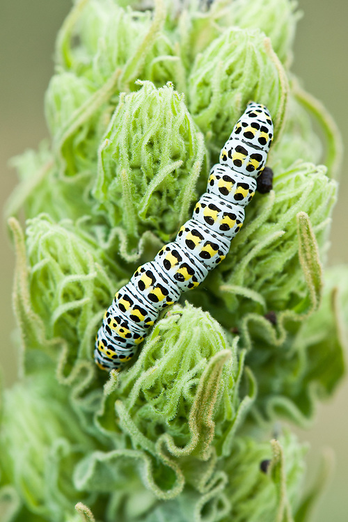 Mullein moth caterpillar (Shargacucullia verbasci) on great mullein (Verbascum thapsus), early June.