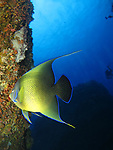 Orchid Island (蘭嶼), Taiwan -- Semicircular Angelfish at Jichang Waijiao (機場外礁)