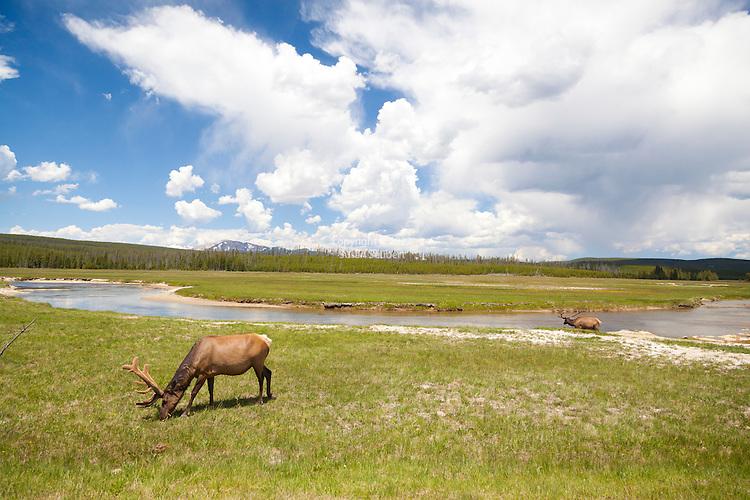 Grazing Elk in Yellowstone National Park, Wyoming