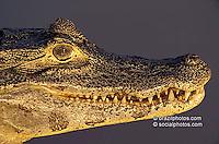 Fauna, animals. Alligator, cayman, Pantanal Matogrossense, Brazil.