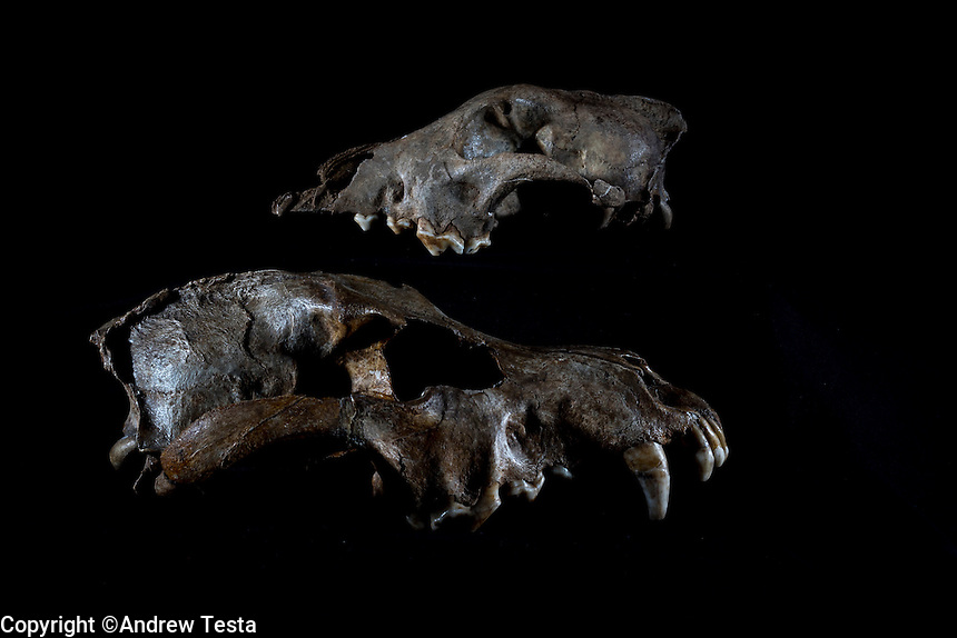 Belgium. Brussels. London. 17th November 2015<br /> Bottom, a wolf skull circa 25,000 years old. On the top, a dog skull believed to be 36,000 years old at the Royal Belgian Institute of Natural Sciences<br /> <br /> Andrew Testa for the New York Times