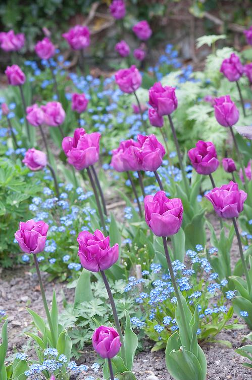 Tulip 'Magic Lavender' with underplanting of forget-me-nots (Myosotis arvensis), late April. A lavender-purple Triumph Group tulip.