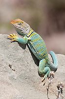 Common Collared Lizard; Crotophytus collaris Colorado; Garfield Co. High Lonesome Ranch