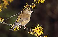 Grünfink, Grünling, Weibchen, Grün-Fink, Chloris chloris, Carduelis chloris, Greenfinch, Verdier d'Europe