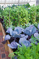 Urban Vegetable Garden growing blue cabbages, carrots, sugar snap peas, raised beds, kale, cold frame at rear, brick pathway aka Cavalo Nero kale