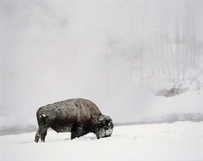Yellowstone National Park; Single, buffalo, Bison in snow and fog along Firehole River at Black Sand Basin, Wyoming..