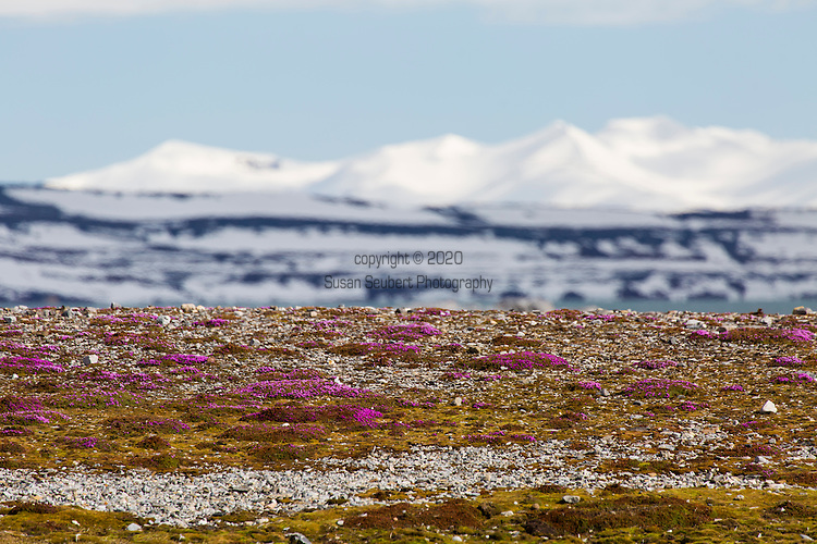 Purple saxifrage in bloom at Gnalodden, Norway, Svalbard