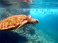 Hawaiian Green Sea Turtle (honu) swimming underwater w/ fish