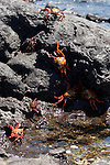 Las Bachas Beach, Santa Cruz Island, Galapagos, Ecuador; Sally Lightfoot Crabs (Grapsus grapsus) on the volcanic rocks at the shore by the water's edge , Copyright © Matthew Meier, matthewmeierphoto.com All Rights Reserved