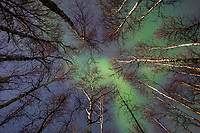 Green northern lights fill the sky over silhouetted birch trees on the boreal forest in Fairbanks, Alaska.