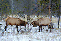 Elk sparring in winter, Jasper National Park, Alberta, Canada