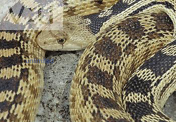 Great Basin Gopher Snake ,Pituophis melanoleucus deserticola,, Western USA.