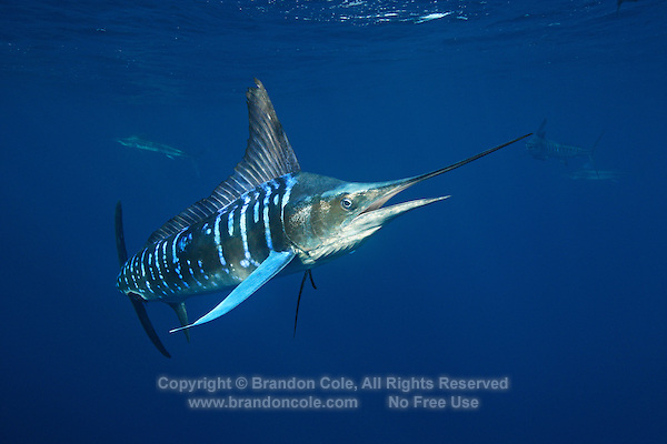 qf2830-D. Striped Marlin (Tetrapturus audax). Baja, Mexico, Pacific Ocean..Photo Copyright © Brandon Cole. All rights reserved worldwide.  www.brandoncole.com..This photo is NOT free. It is NOT in the public domain. This photo is a Copyrighted Work, registered with the US Copyright Office. .Rights to reproduction of photograph granted only upon payment in full of agreed upon licensing fee. Any use of this photo prior to such payment is an infringement of copyright and punishable by fines up to  $150,000 USD...Brandon Cole.MARINE PHOTOGRAPHY.http://www.brandoncole.com.email: brandoncole@msn.com.4917 N. Boeing Rd..Spokane Valley, WA  99206  USA.tel: 509-535-3489