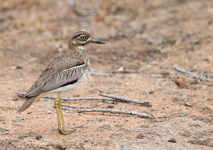The Water thick-knee is a wading bird sometimes seen on land in the African bush.