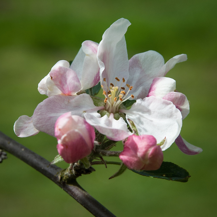Blossom of Apple 'Allington Pippin', early May. An English dual-purpose culinary-dessert apple which can be used initially as for baking (it keeps its shape when cooked) but after a few months in store the flavour mellows to an intense fruit drop or pineapple flavour. Bred by Thomas Laxton in the late 19th century when he was based in Stamford, Lincolnshire. In 1894, the variety was acquired by George Bunyard of Maidstone, Kent, who changed its name from the 'South Lincoln Pippin' to the 'Allington Pippin' after his Allington Nurseries.