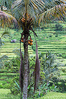 Jatiluwih, Bali, Indonesia.   Coconut Palm.  Terraced Rice Paddies in Background.
