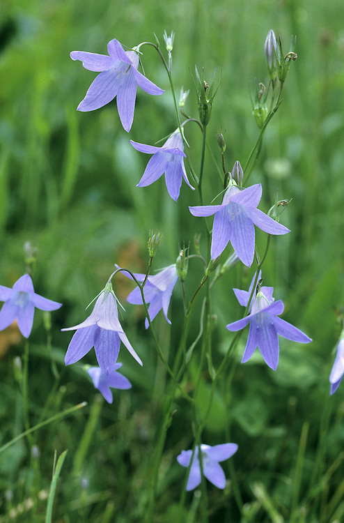 SPREADING BELLFLOWER Campanula patula Height to 60cm. Delicate and slender perennial of dry, grassy places. Flowers 20-25mm long, bell-shaped ans bluish purple; on slender stalks (July-Sep). Fruits dry capsules. Leaves spoon shaped basal leaves and narrow stem ones. Status local and declining.