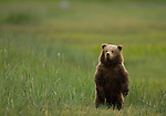 A brown bear cub stands upright in a coastal meadow in Lake Clark National Park, Alaska, June 24, 2008.  This is the cub's second summer; he will likely spend one more year with his mother.  Photo by Gus Curtis.