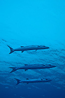Three Great Barracuda (Sphyraena barracuda) swimming in blue waters, Madivaru, Rasdhoo Atoll, Maldives.