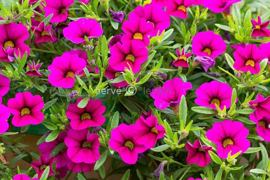 Surfinia 'Million Bells Bouquet Brilliant Pink' = Petunia 'Bouquet Brilliant Pink' = Calibrachoa 'Million Bells Bouquet Brilliant Pink'