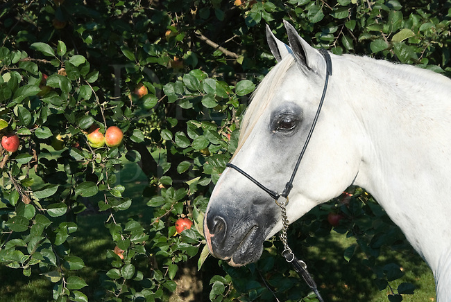 Picture of white Arabian horse next to a ripe apple tree, ready to steal a few treats!