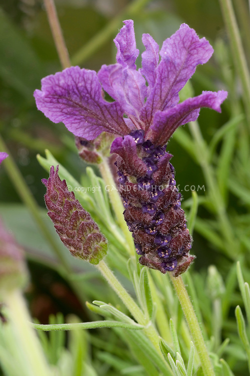 Lavandula stoechas 'Regal Splendor' or 'Purple Emperor'  Spanish lavender