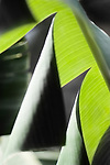 A close-up of Banana palm fronds at the Los Angeles County Arboretum & Botanical Garden in Arcadia, California.