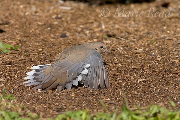 Mourning Dove (Zenaida macroura) sunbathing, New York, USA