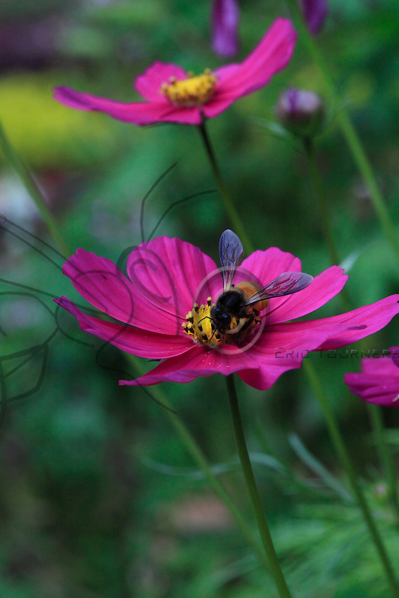 A giant bee is foraging a aster flower.