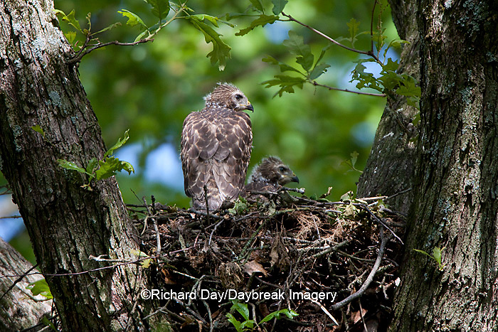 00794-00601 Red-shouldered Hawks (Buteo lineatus) nestlings at nest, Marion Co., IL