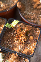 Young plants in the nursery that have been seeded with truffles spores and that will be planted and produce truffles. Young holly holm-oak Truffiere de la Bergerie (Truffière) truffles farm Ste Foy de Longas Dordogne France