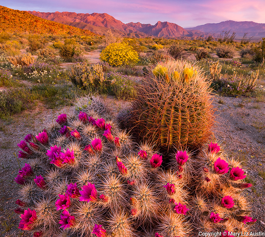 Anza-Borrego Desert State Park: Sunrise light on blossoming Hedgehog cactus (Echinocereus engelmannii) and barrel cactus (Ferocactus acanthodes) in Yaqui Meadows with Indianhead Peak of the San Ysidro Mountains in the distance.