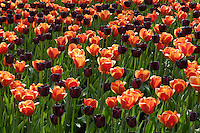 Hollande, région des champs de fleurs, Lisse, Keukenhof, massif de tulipes // Flowerbed of tulips // Flowerbed of tulips.