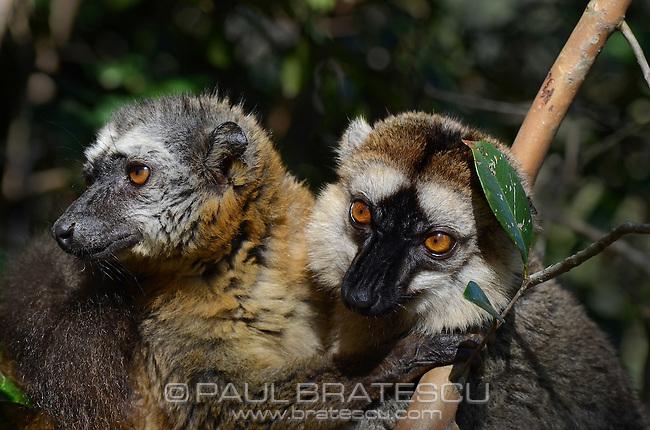 Brown Lemur (Eulemur fulvus) Madagascar