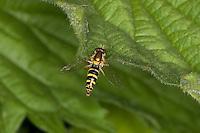 Stift-Schwebfliege, Stiftschwebfliege, Langbauch-Schwebfliege, Langbauchschwebfliege, Schwebfliege, Weibchen, Sphaerophoria spec.