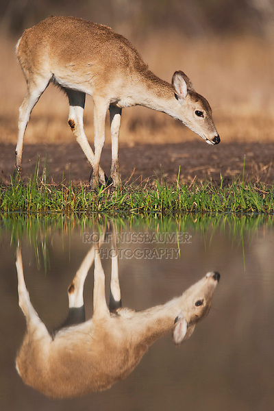 White-tailed Deer (Odocoileus virginianus), young drinking, Sinton, Corpus Christi, Coastal Bend, Texas, USA