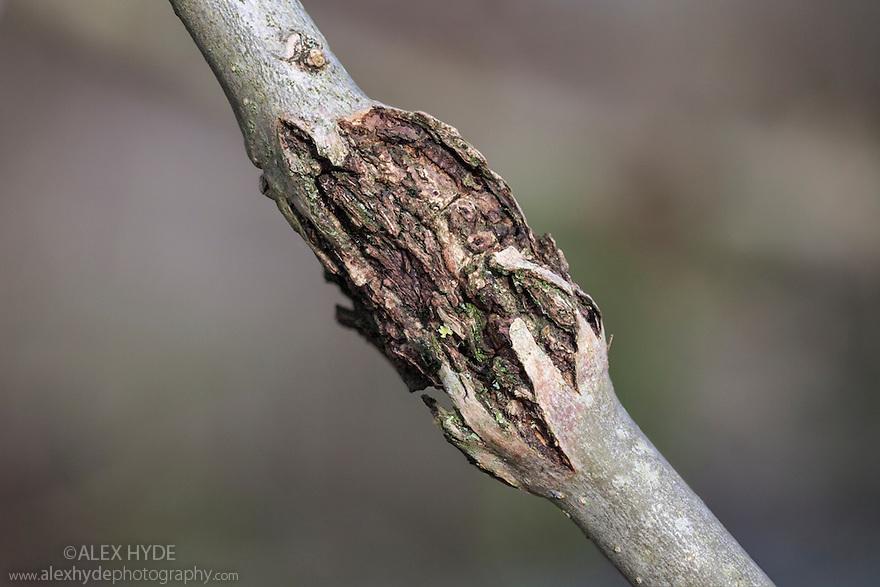 Bacterial Canker of Ash {Pseudomonas syringae ssp. savastonoi pv fraxini}. UK, December.