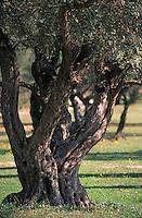 Europe/Provence-Alpes-Côte d'Azur/83/Var/Ile de Porquerolles: Collection variétale d'oliviers au Conservatoire Botaniuqe National Méditerranéen