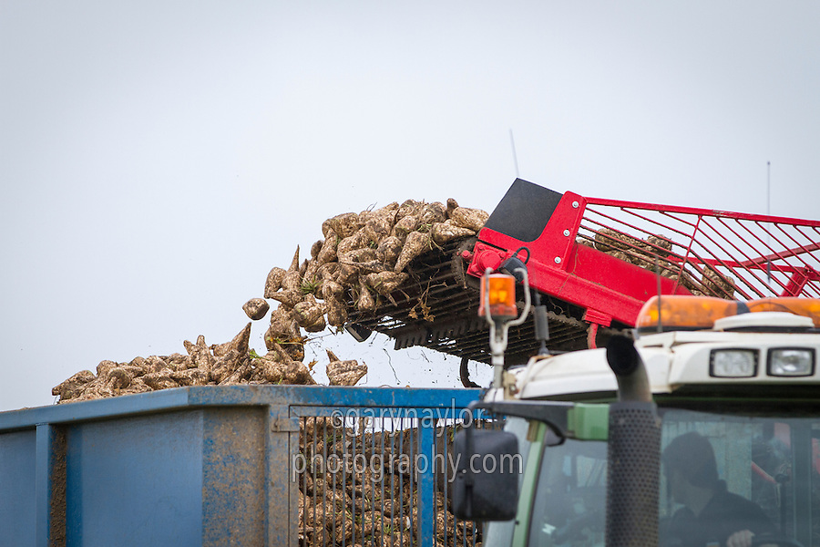 Loading trailer with sugar beet