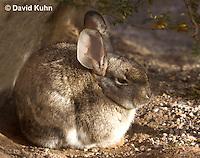 1115-0801  Desert Cottontail Rabbit (Audubons Cottontail), Sylvilagus audubonii © David Kuhn/Dwight Kuhn Photography