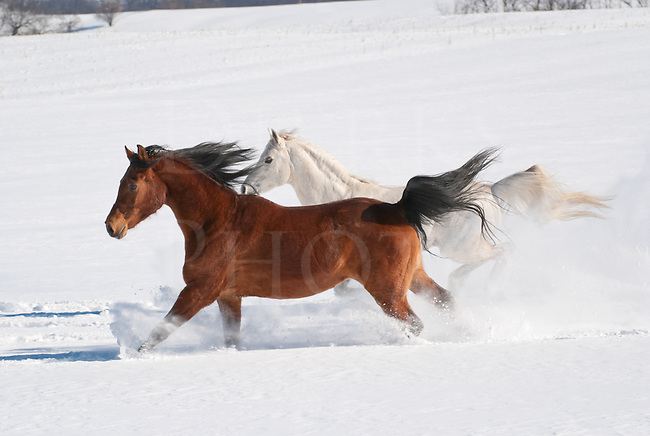 Picture of two Arabian horses running across field in new fallen snow.