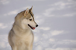 Siberian Husky posed in the snow Shopping cart has 3 Tabs:<br /> <br /> 1) Rights-Managed downloads for Commercial Use<br /> <br /> 2) Print sizes from wallet to 20x30<br /> <br /> 3) Merchandise items like T-shirts and refrigerator magnets