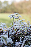 Frost on Hawthorn hedge, Lancashire.