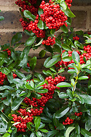 Pyracantha on brick wall with thick berries fruit, red and orange