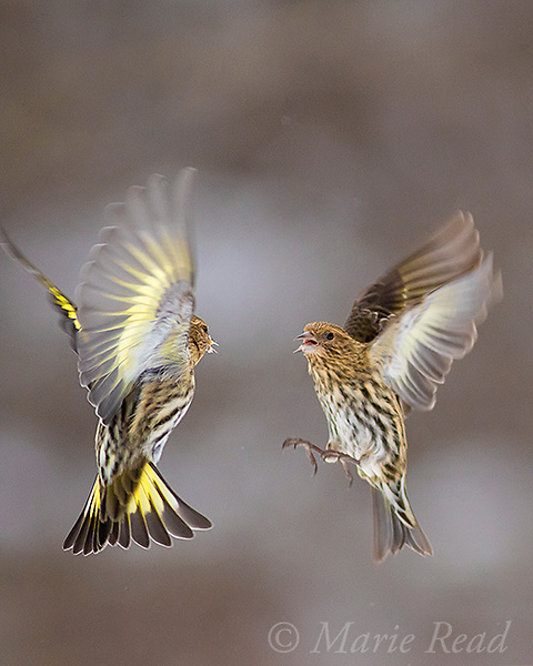 Pine Siskins (Spinus pinus)  two fighting in midair, winter, New York, USA