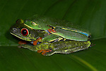 Red Eyed Tree Frog, Agalychnis callidryas, pair mating, protective nictating membrane covering eyes, Guayacan, Provincia de Limon, Costa Rica, Amphibian Research Center, amplexus, male, female, tropical jungle, South America.Central America....