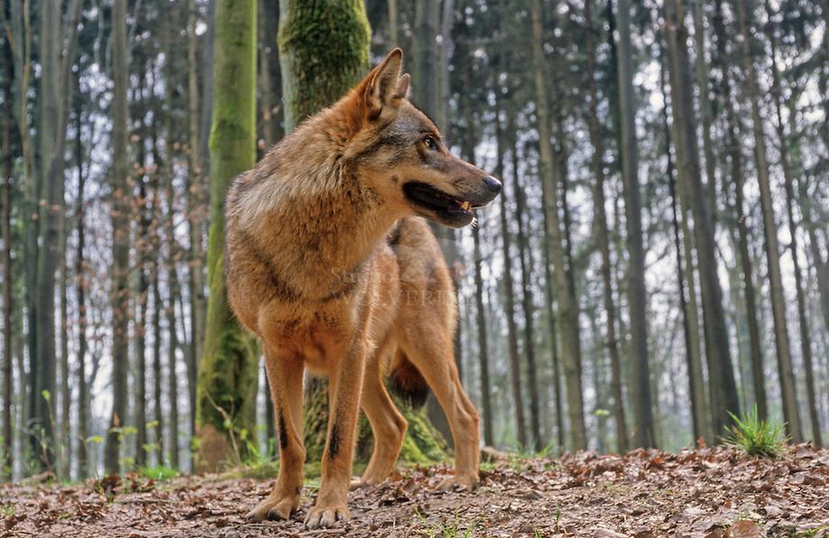 Wolf (Canis lupus)Wolf (Canis lupus)Wolf (Canis lupus)